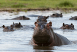 An Alert Hippopotamus, Hippopotamus Amphibius, Among Others in the Water Photographic Print by Sergio Pitamitz