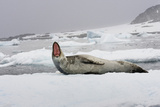 A Leopard Seal, Hydrurga Leptonyx, Resting on an Ice Floe Photographic Print by Brian J. Skerry