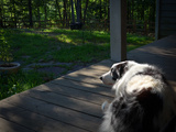 An Australian Shepherd Dog Sleeping on a Front Porch Photographic Print by Amy White and Al Petteway