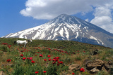 Poppies Growing Near Mount Damavand, a Live Volcano and the Highest Peak in the Middle East Fotografisk tryk af Babak Tafreshi