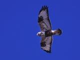 A Rough-Legged Hawk, Buteo Lagopus, in the Seal River Area Photographic Print by Kike Calvo