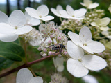 An Unidentified Insect Drinking Nectar from a Hydrangea Flower Photographic Print by Amy White and Al Petteway