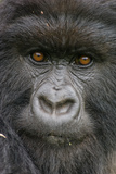 Portrait of a Mountain Gorilla, Gorilla Beringei Beringei, a Member of the Amahoro Group Photographic Print by Tom Murphy