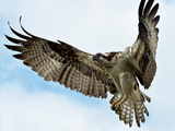 An Osprey, Pandion Haliaetus, Hovers over the James River before Diving for a Fish Photographic Print by Medford Taylor