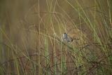 A Federally Endangered Cape Sable Seaside Sparrow, Ammodramus Maritimus Mirabilis Photographic Print by Joel Sartore