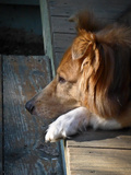 A Mixed Collie Resting on an Old Wooden Porch Photographic Print by Amy White and Al Petteway