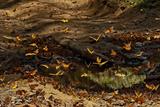 Monarch Butterflies at a Waterhole in the Sierra Chincua Santuario Mariposa Monarca, Mexico Photographic Print by Medford Taylor