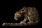 A Federally Endangered Clouded Leopard, Neofelis Nebulosa Fotografisk tryk af Joel Sartore