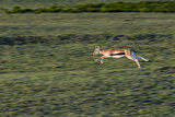A Threatened Thomson's Gazelle Leaps in Full Flight across the Savannah at Sunset Photographic Print by Jason Edwards