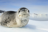 Close Up Portrait of a Leopard Seal, Hydrurga Leptonyx, Resting on an Ice Floe Photographic Print by Brian J. Skerry