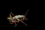 The Juvenile Phase of the Eastern Lubber Grasshopper, Romalea Guttata Photographic Print by Joel Sartore