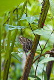 A Owl Butterfly Roosting on the Trunk of a Rainforest Plant in the Understory Photographic Print by Jason Edwards