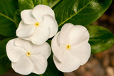 Close Up of a Flowering Madagascar Periwinkle Plant, Catharanthus Roseus Photographic Print by Darlyne A. Murawski