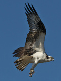An Osprey, Pandion Haliaetus, Soars over the James River in Richmond, Virginia Photographic Print by Medford Taylor
