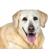 Close Up Portrait of an Old Pet Yellow Labrador Retriever Panting and Resting Photographic Print by Vickie Lewis