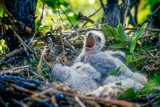 Three Downy Swainson's Hawk Chicks Wait for their Parents to Return from Foraging Photographic Print by Tom Murphy