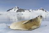 A Crabeater Seal Resting on an Ice Floe Stained By+A58 Krill Photographic Print by Brian J. Skerry