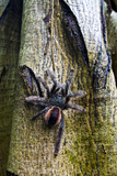 A Rose Haired Tarantula Ascending a Tree Trunk in the Amazon Rainforest Photographic Print by Jason Edwards