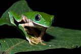 A Bright Green Barred Leaf Frog Perched on an Inga Leaf in the Rainforest at Night Photographic Print by Jason Edwards