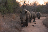 Three White Rhinoceros, Ceratotherium Simum, Walking in a Line at Dusk Photographic Print by Sergio Pitamitz