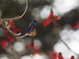 A Swallow Tailed Hummingbird, Eupetomena Macroura, Resting in a Tree Photographic Print by Alex Saberi
