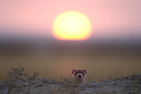 A Black-Footed Ferret, Mustela Nigripes, Peering from its Burrow at Sunset Photographic Print by Michael Forsberg