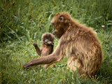 A Baby Gelada Baboon Munches on a Stick Next to Mother Photographic Print by Robin Moore