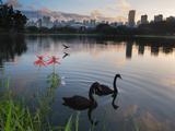Black Swans, Cygnus Atratus, at Sunrise in Ibirapuera Park Photographic Print by Alex Saberi