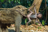 An Infant Baboon Hangs from a Branch by its Mother Photographic Print by Tom Murphy