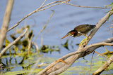 Portrait of a Green Heron, Butorides Virescens, Hunting from a Tree Branch over Water Photographic Print by Brian J. Skerry