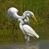 A Great Egret and Smaller Snowy Egrets Feeding in a Pacific Salt Marsh in Michoacan, Mexico Photographic Print by Medford Taylor