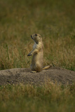A Black-Tailed Prairie Dog, Cynomys Ludovicianus, at the Entrance to its Burrow Photographic Print by Michael Forsberg