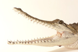 An Australian Freshwater Crocodile, Crocodylus Johnsoni, at the Omaha Henry Doorly Zoo Photographic Print by Joel Sartore