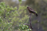 A Black Kite, Milvus Migrans, Perched on a Dead Tree Branch Reproduction photographique par Sergio Pitamitz