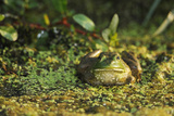 Portrait of a Bullfrog, Rana Catesbeiana, Among Duckweed, Lemma Minor, and Other Plants Photographic Print by Brian J. Skerry