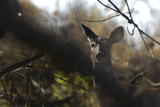 A White-Tailed Deer Doe, Odocoileus Virginianus, Peering Through the Trees Photographic Print by Michael Forsberg