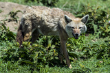 A Golden Jackal Hunting for Prey on the Short Grass Savannah Plain Photographic Print by Jason Edwards