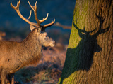 A Large Red Stag Creates a Shadow on a Nearby Tree Photographic Print by Alex Saberi