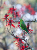 A Plain Parakeet, Brotogeris Tirica, Resting and Eating on a Coral Tree Photographic Print by Alex Saberi