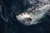 Portrait of a Great White Shark, Carcharodon Carcharias, Surfacing with its Mouth Open Photographic Print by Jeff Wildermuth