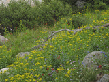 A Mixed Variety of Wildflowers Growing on a Hillside Among Boulders Photographic Print by Michael Forsberg