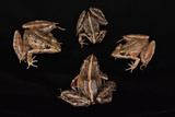 Common River Frogs Collected from Mount Gorongosa Photographic Print by Joel Sartore