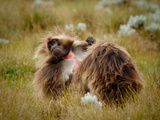 Male Gelada Baboons, Theropithecus Gelada, Grooming on the Guassa Plateau Photographic Print by Robin Moore