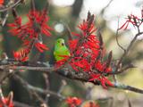 A Plain Parakeet, Brotogeris Tirica, Resting in a Coral Tree Photographic Print by Alex Saberi