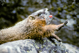 A Yawning Yellow Bellied Marmot Rests on a Rock and Stretches Photographic Print by Tom Murphy