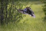 A Great Gray Owl, Strix Nebulosa, Flying with a Rodent in its Beak Photographic Print by Robbie George