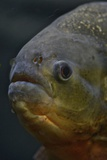 Portrait of a Red Bellied Piranha, Pygocentros Nattereri, a South American Freshwater Fish Photographic Print by Kike Calvo
