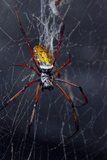 An Orbweaver Spider Crawls on its Web Photographic Print by Brian Gordon Green