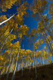 Aspen Trees in Grand Teton National Park in the Fall Photographic Print by Tom Murphy