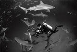 Caribbean Reef Sharks Swimming in a Frenzy around an Underwater Photographer Fotografisk tryk af Jennifer Hayes